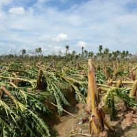 In ruin: A Filipino examines a banana plantation flattened by Typhoon Bopha in Compostela Valley Province on Wednesday. | AFP-JIJI