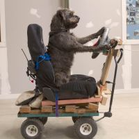 Why walk?: Monty, an abandoned dog in New Zealand, is trained to drive as part of a project aimed at encouraging people to adopt pets stuck in the nation's animal shelters. | AFP-JIJI