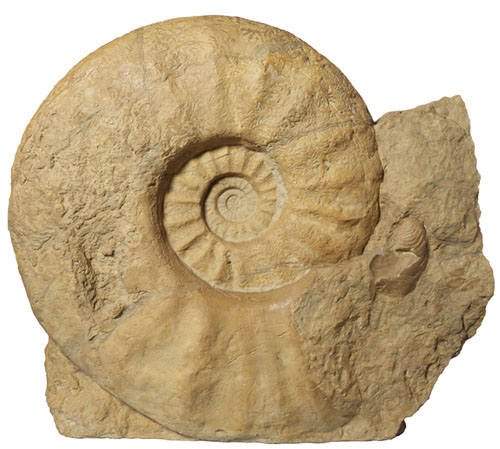 'Parapuzosia seppenradensis' (Late Cretaceous) | HAYASHIBARA MUSEUM OF NATURAL SCIENCES