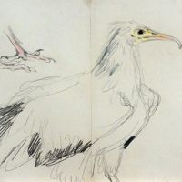 'Drawings of Egyptian vulture,' Kazuho Hieda.