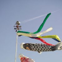 Childhood purity: Japanese Koinobori are pictured above. 'Carp Streamers' contains traditional nursery rhymes and the modern children's songs that are part of Japan's elementary school curriculum. Both types reveal Japanese culture with an emphasis on the natural world.