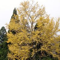 The common ginkgo tree is the only species surviving of a wholly unique family, the ginkgoaceae. A mature ginkgo reaches 20 to 35 m in height. | PHOTOS (c)IMAGES OF JAPAN