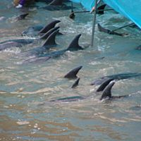 Doomed dolphins in Taiji's killing cove last November | EARTH ISLAND INSTITUTE PHOTO