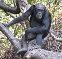 A young female chimp in the Fongoli region of Senegal, where the primates were witnessed in 2005 and 2006 making and sharpening spears which they then used to kill bush babies for food.