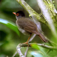 A rare black-headed nightingale thrush spotted in a reserve in the Rio Grande Valley in Texas in July 2004. | AP PHOTO