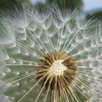 A beautiful dandelion seed, marking spring's progress into summer.