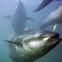 The world's largest consumer of tuna has no limit on the safe levels of mercury in seafood. | AP PHOTO