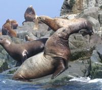 A Steller's sea lion bull with cows on remote Iony Island in the northern sea of Okhhotsk, Russia | &#169; IMAGES OF JAPAN