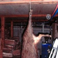 A juvenile, late wild boar hangs in the writer's basement | C.W. NICOL PHOTO