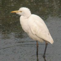 Climate change is bringing shoreline hunters such as this cattle egret to Hokkaido far earlier than usual.