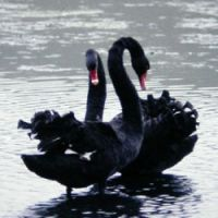 A pair of Black Swans get friendly in New Zealand, where they were introduced as 'ornamentals' from Australia, as they also have been to Japan.