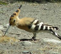 A hoopoe spied in Carthage