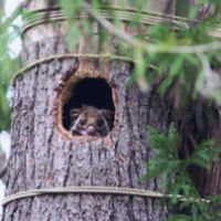 Wild times: A flying squirrel peeks from a nest box in our woods that was meant for owls | KIMIO KAWASAKI PHOTO