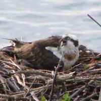 An osprey on its jumbled nest