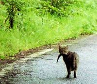 A feline fisher heading home from the local trout farm in Kurohime, Nagano Prefecture | KEIKO TAMURA PHOTO