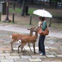 A tourist feeds a pair of eager deer in front of Todaiji Temple