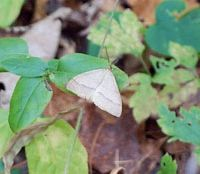 Snow signal: One of the day-flying moths said to be a harbinger of snow. | KEIKO TAMURA PHOTOS