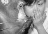 Monkey see; monkey do: A Japanese macaque reveals an ability to mimic a human's hand movements that has long been known in apes, but comes to scientists as a surprising attribute of a monkey's brain. | MARI KUMASHIRO ET AL., PLoS ONE
