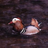 Ducky charm: It seems auspicious that the Mandarin duck, a symbol of marital fidelity, makes its home in the gardens of Meiji Jingu, where so many weddings take place. | MARK BRAZIL PHOTOS