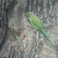 The law of cavity: Rose-ringed parakeets are spreading in Tokyo and may one day nest in the gardens.