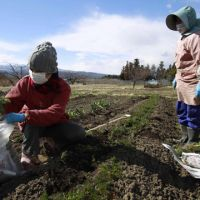 Bitter harvest: Fukushima farmer Sumiko Matsuno (left) and a friend bag carrots on March 24 despite their worries that no one will buy them due to radiation fears. | AP PHOTO