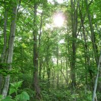 Simply sylvan: My local wood in Nopporo, Hokkaido, in its fresh-green spring glory.