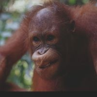 Aping mankind: A 6-year-old male orangutan strikes a pose at the rehabilitation center for orphaned animals at Sepilok, Sabah, Malaysian Borneo. Orangutans show characteristics that many would consider surprisingly human. | ROWAN HOOPER PHOTOS