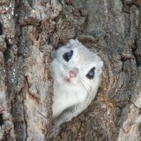 Too cute: This photograph of a Siberian Flying Squirrel was a contender for publication in a calendar by the website Cute Overload (www.cuteoverload.com). | MARK BRAZIL PHOTO
