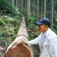Prime specimens: Mr. Matsuki, chief forester of our Afan Trust, stands by a 150-year-old cedar felled in the Mount Yoshino forest.