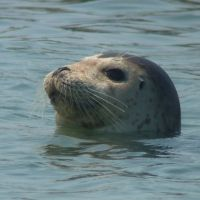 A Bearded Seal with both nostrils open off Kamchatka seems to have spied the camera.