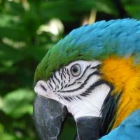 Blue swoon: The body feathers (below) of this Blue-and-Yellow Macaw in Brazil are seen here spread for cooling. | MARK BRAZIL PHOTOS