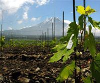 Climbing vines: Japanese wine made using the Koshu grape is about to be sold in France for the first time.