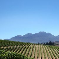 Grape adventure: A view over the vineyards on the Neethlingshof estate in Stellenbosch, South Africa's most illustrious wine region. | ALINE BALAYER