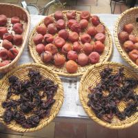Preparing a plum crop: Umeboshi can take weeks to make. After being salted and weighted down, the ume fruits are dried in the sun for a few days to soften the skins.