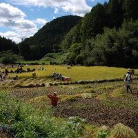 Drinking in nature: The annual Karasuyama Taiken program offers sake-lovers the chance to make their own brew from scratch. Here, the participants harvest rice they planted in May. | MELINDA JOE