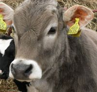 A brown Swiss and a black-and-white Holstein are the darlings of Takahashi Farm in Hokkaido | AMY CHAVEZ PHOTO