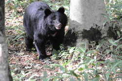 Fine sight: A magnificent bear roams free in a Hiroshima Prefecture forest. Japan's black bears can grow to a length of 145 cm and weigh up to 120 kg. | KAZUHIKO MAITA