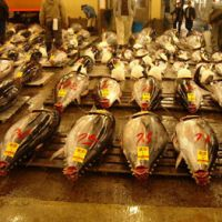 Cash crop: Fresh tuna up for auction at Tsukiji fish market in Tokyo. | HILLEL WRIGHT PHOTOS