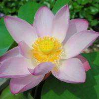 The lotus flower is not your average flower . it is a power flower! | AMY CHAVEZ