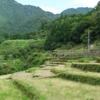 Small is beautiful: Terraced paddies like this in the hills of Mie Prefecture are lovely to look at but a disaster in terms of cost-efficient rice production. Whether they could survive globalization is far from certain.