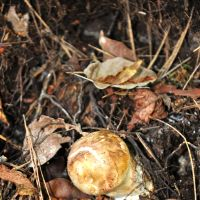 To the victor the spoils: Our first matsutake find 'somewhere in western Kyoto Prefecture'; matsutake gohan that we rustled up back at home; our guide and inspiration, professional matsutake hunter Toshiaki Mizuguchi. | JOHN ASHBURNE PHOTOS
