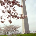 Celebrating friendship with Japan and 100 years of U.S. <em>hanami</em>