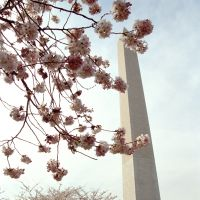 Blossoming international relationships: Cherry blossom on the National Mall overlooking the Washington Monument in Washington, D.C. | PAULE SAVIANO