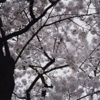 Pure beauty: Somei-Yoshino blossoms present nature as art. | ANDREW KERSHAW PHOTOS