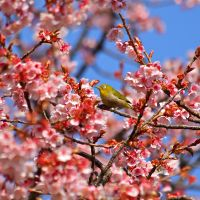 Double delight: A mejiro (white eye) amid Prunus blooms. | CHRISTOPHER JOHNSON