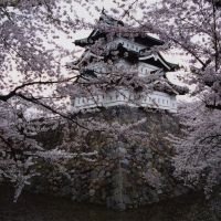 Art of war: Cherry blossoms at Hirosaki Castle, Aomori Prefecture. | ANDREW KERSHAW