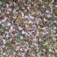 Fallen cherry blossom petals are evidence of a season come and gone. | AMY CHAVEZ
