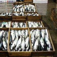 Box meals: Crates of mackerel — the chief species by weight landed in Japan — glisten fresh from the ocean on the dock at Kagoshima port in Kyushu. | HILLEL WRIGHT