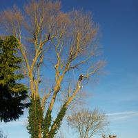 Branching out: English arborist Robert Knott uses a complex rigging system to dismantle a 33-meter poplar tree in England this winter. | COURTESY OF ROBERT KNOTT