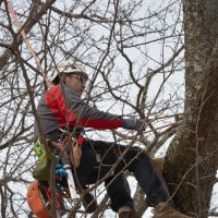 Hanging around: Tree doctor and master rope-climber Jiro Yoshimi trims branches from an ailing cherry tree in Nagano Prefecture. | WINIFRED BIRD